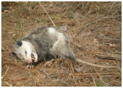 Opossum-Trapping-Lakewood-Ranch